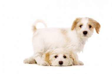 Puppies playing isolated on a white background