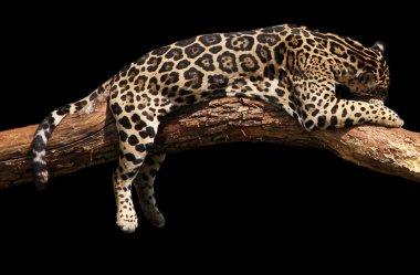 African leopard sleeping