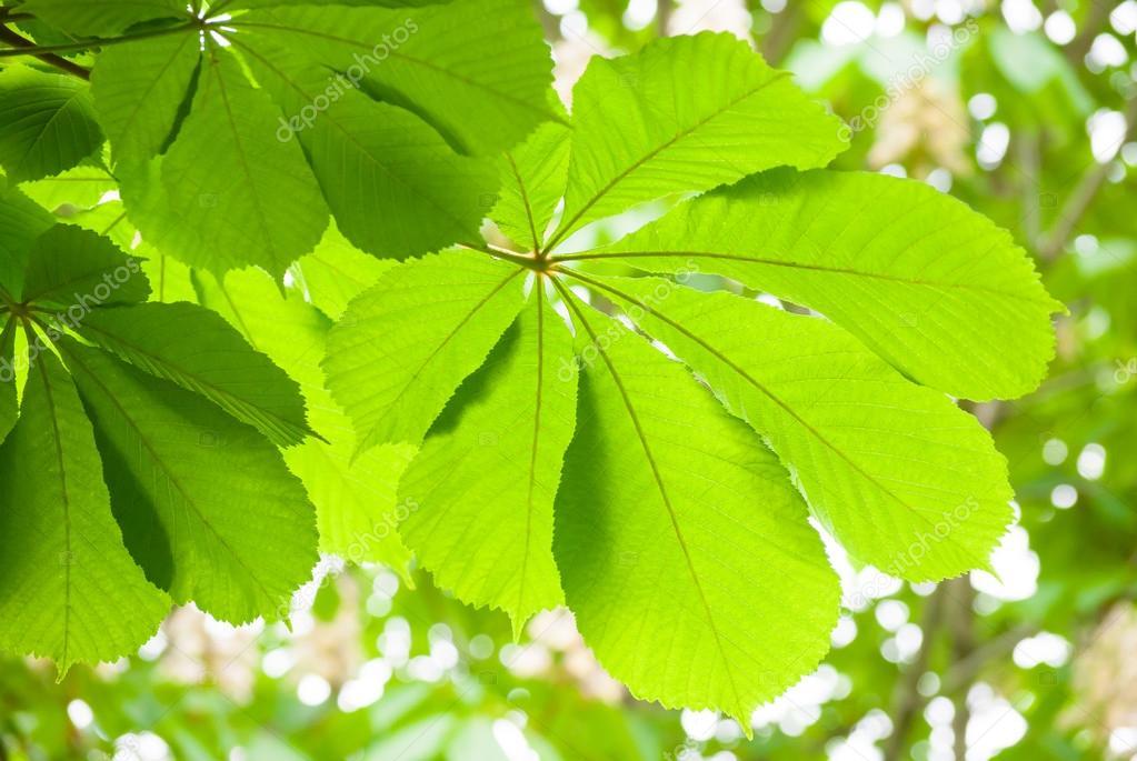 Green chestnut leaf in spring