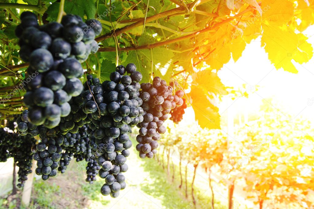 Ripe, lush bunches of grape on the vine