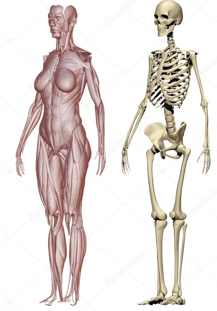 músculos y esqueleto mujer — Fotos de Stock © vampy1 #24909201