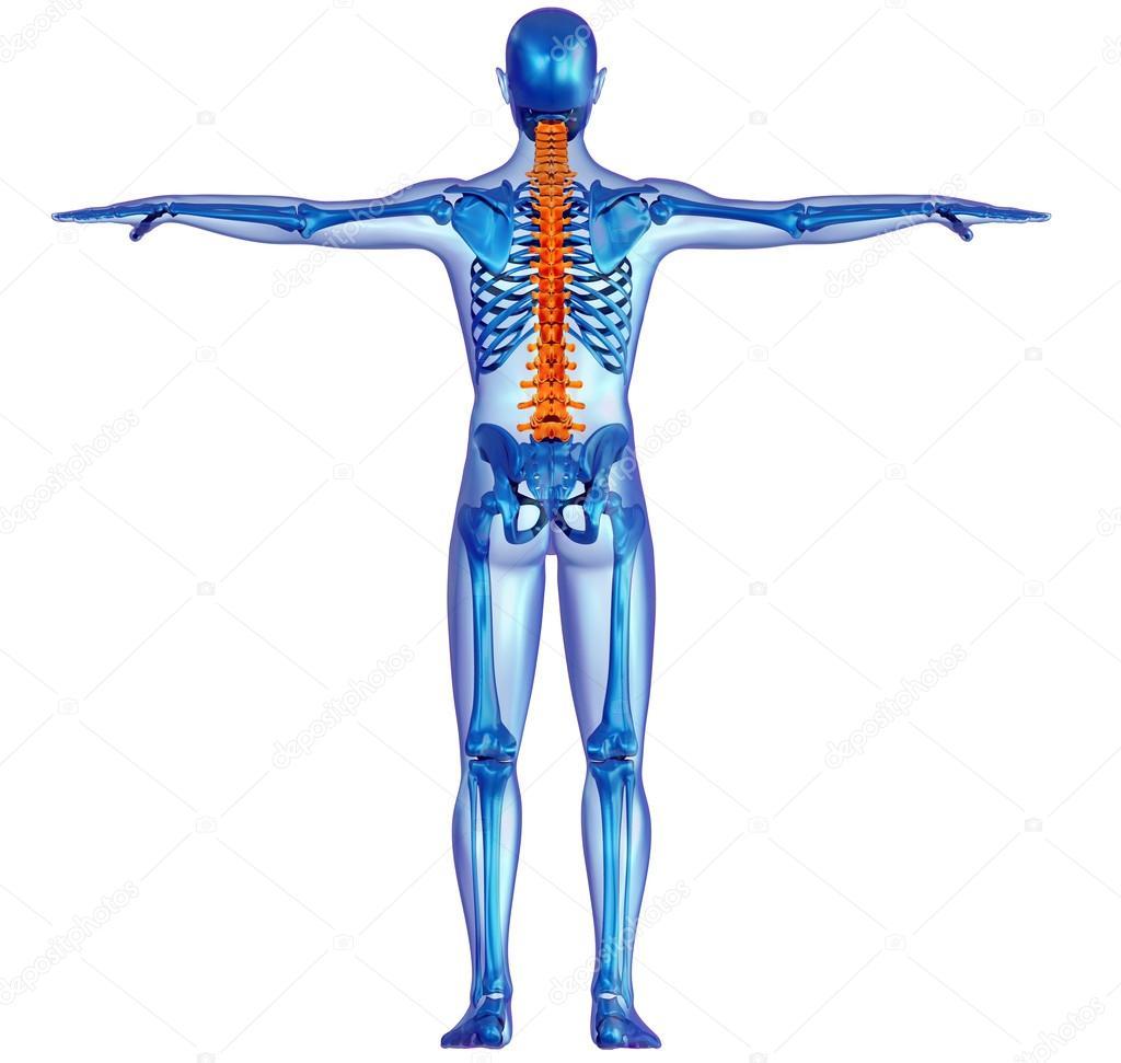 dolor en la columna vertebral y esqueleto del cuerpo humano — Foto ...