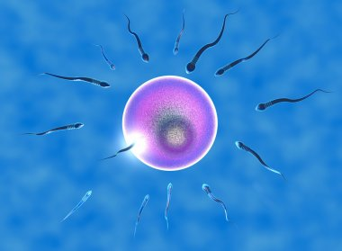 Conception, ovule and sperm