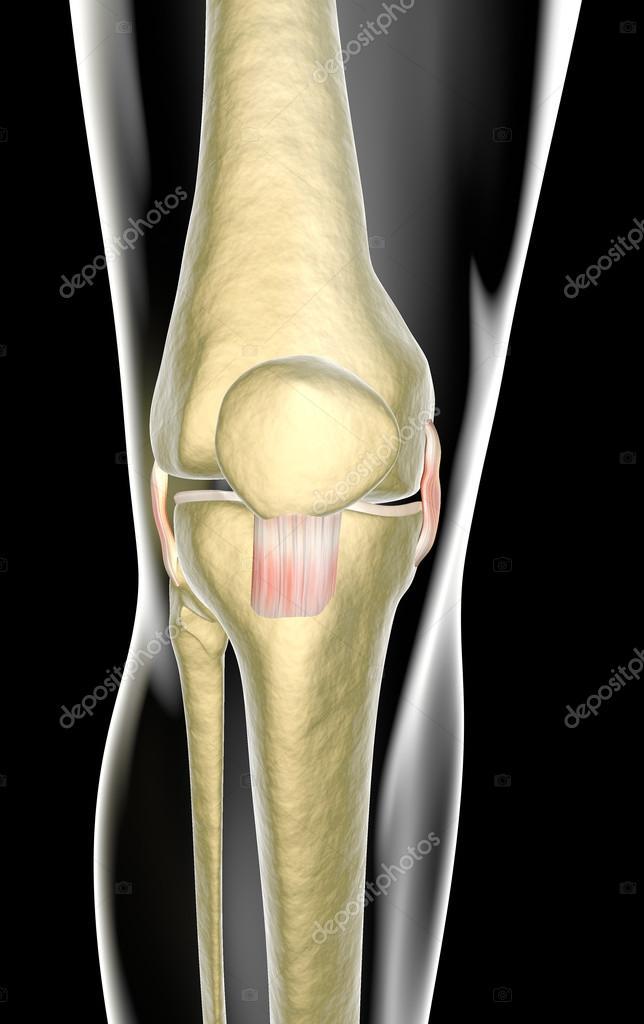 los ligamentos, tendones, radiografía de la rodilla — Fotos de Stock ...
