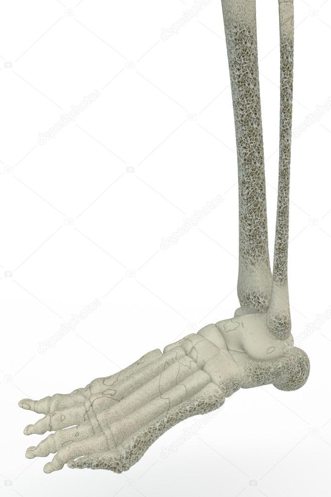Menschlicher Fuß Knochen. Osteoporose, Knochenbrüchigkeit ...