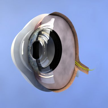 Section of the human eyeball.