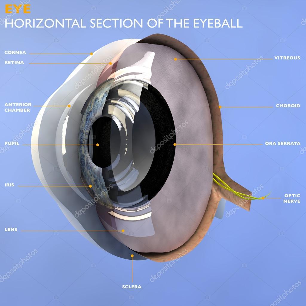 sección del globo del ojo humano — Fotos de Stock © vampy1 #49547541