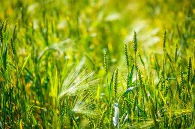 Rye and wheat