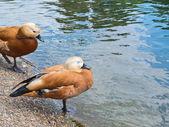 Fotografie paar von zwei braune Enten