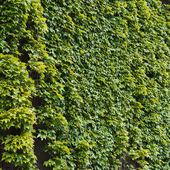 Parthenocissus inda hegymászás dekoratív növény