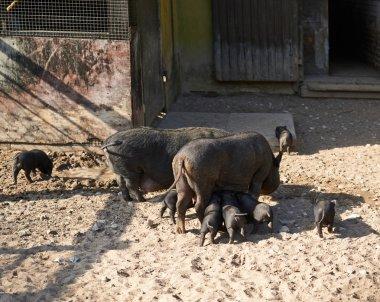 Female pig feeding piglings