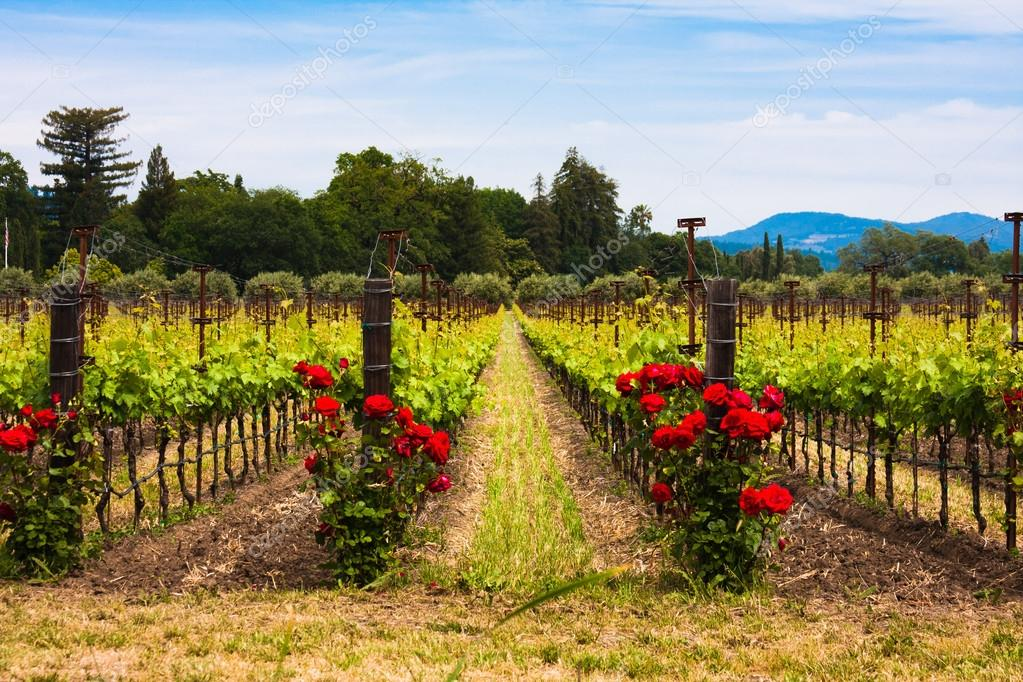 Colorful vineyards in Napa Valley,California