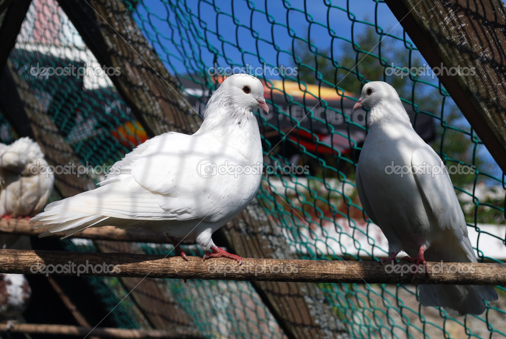 A pair of white pigeons