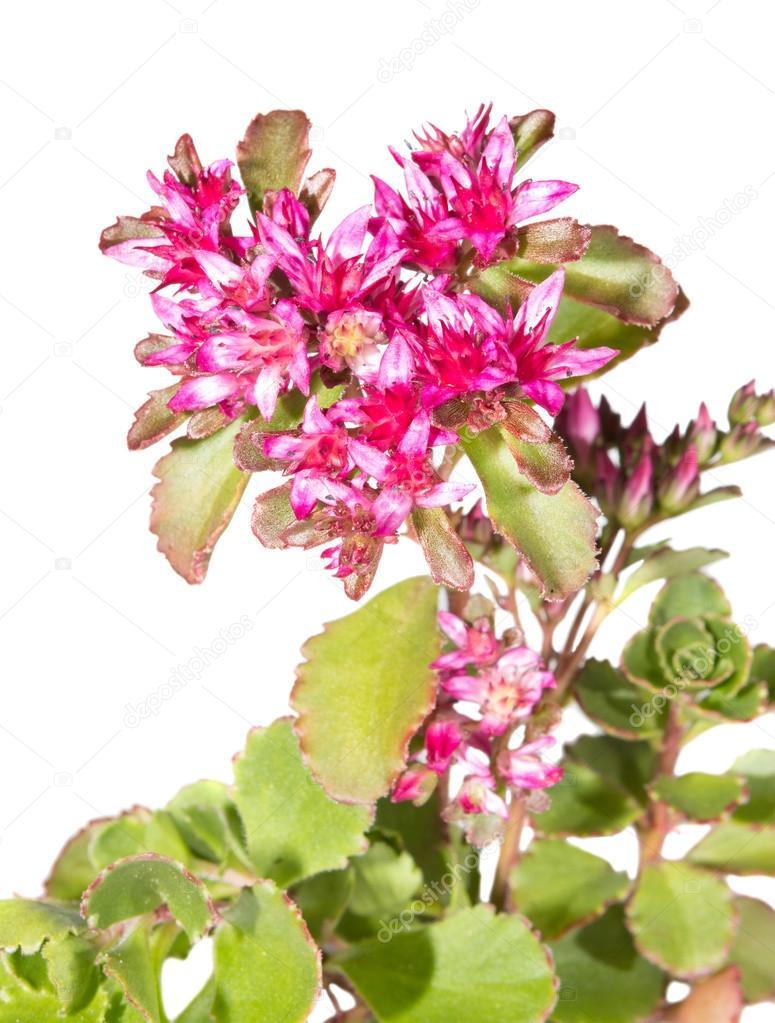 Pink Flowers Of Sedum Causticola Stock Photo Martinaosmy 28029959