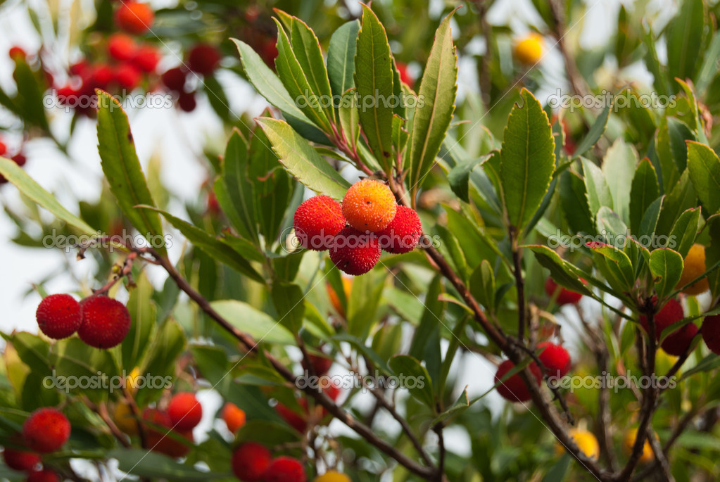 The mature fruits of the Strawberry Tree