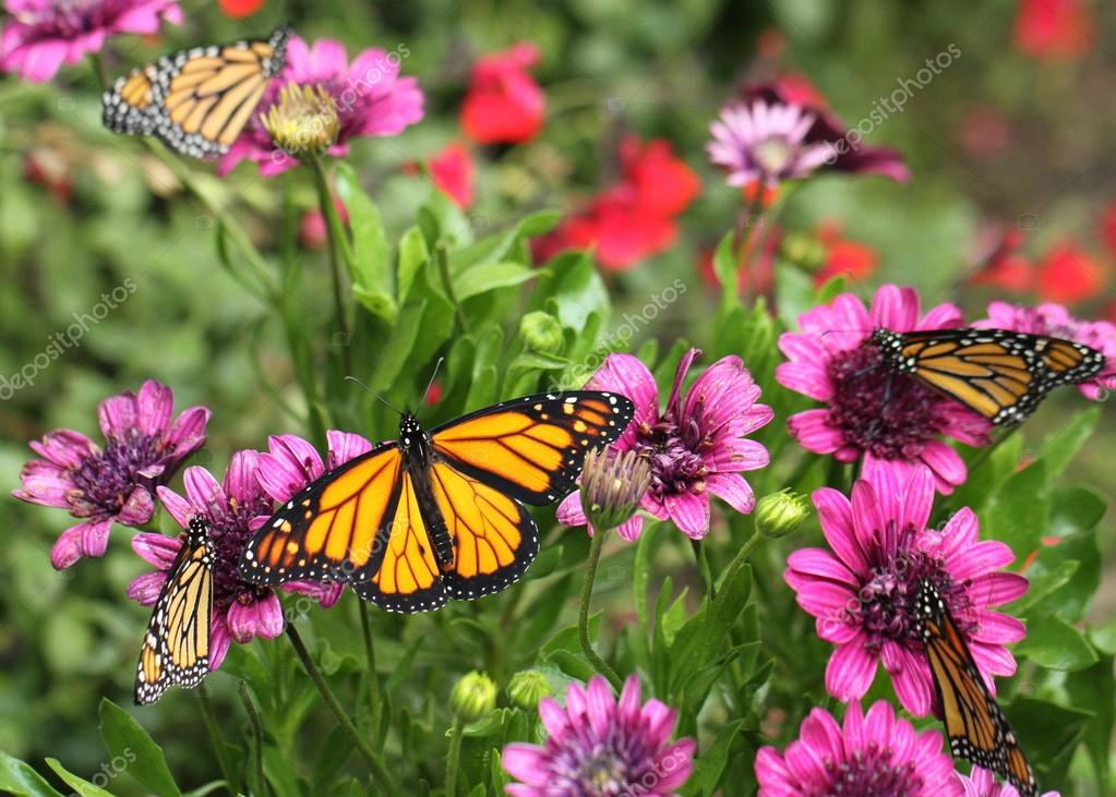Monarch Butterflies and Purple Daisies