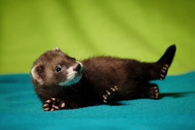 Nice ferret baby laying in studio