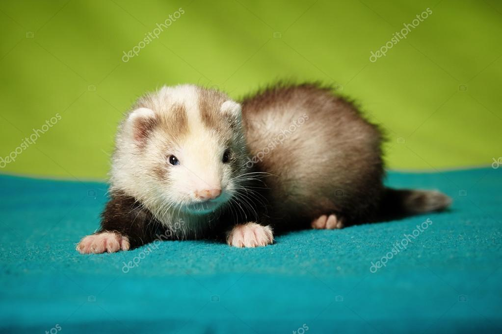 Little ferret tigress