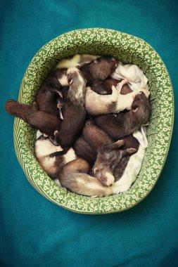 Fourteen ferret babies in lair