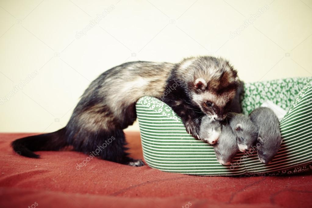 Ferret father and four weeks old babies