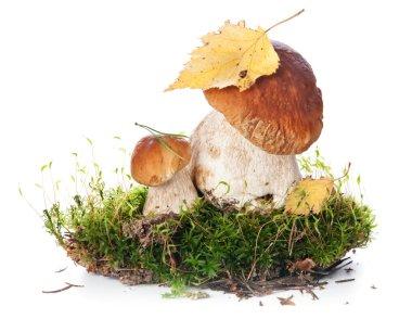 Two fresh porcini mushrooms