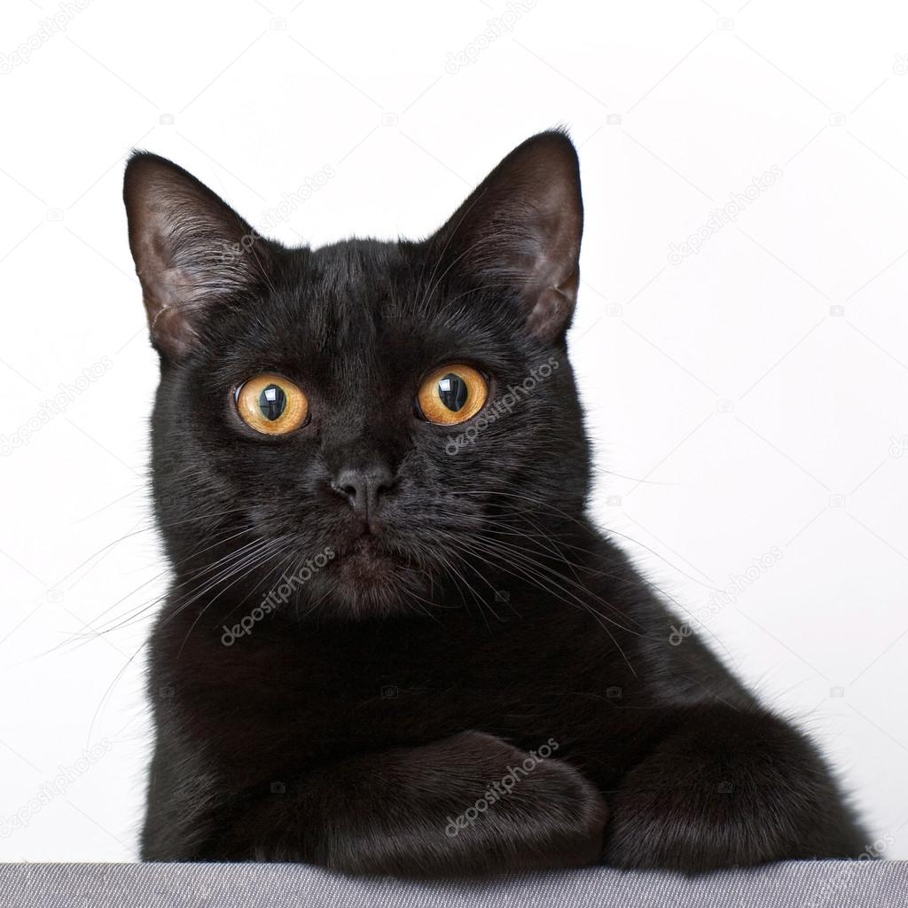 Relaxing black cat on white background closeup