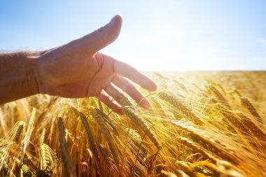 Hand touching wheat ears in a golden field