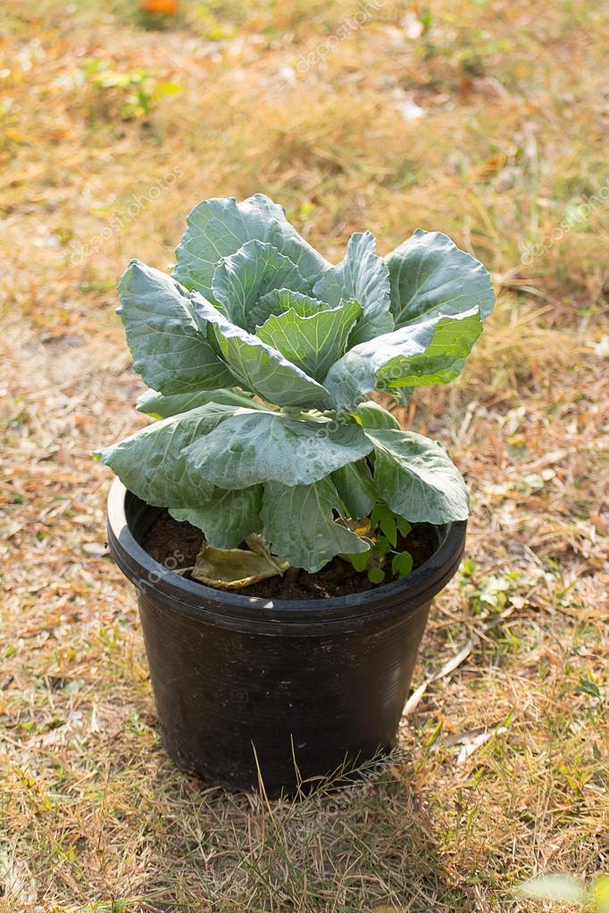 Warzywa W Doniczkach Zdjęcie Stockowe Tanagron 40473465