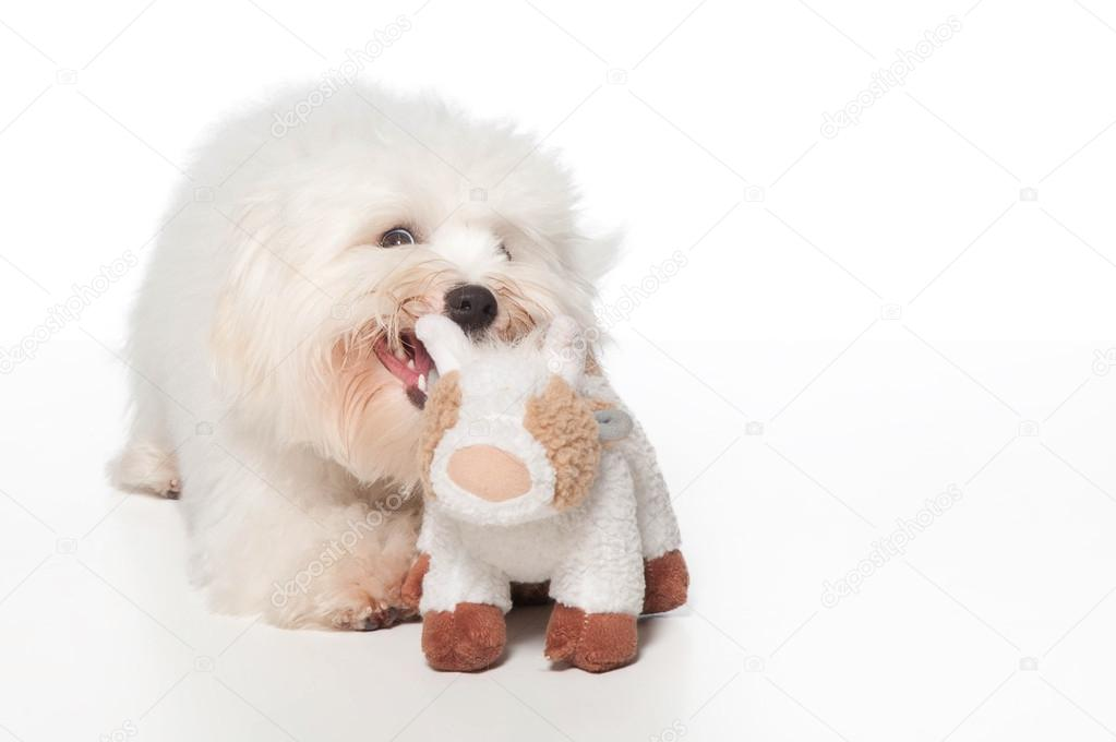 White Coton De Tulear Dog Playing With A Stuffed Animal Stock