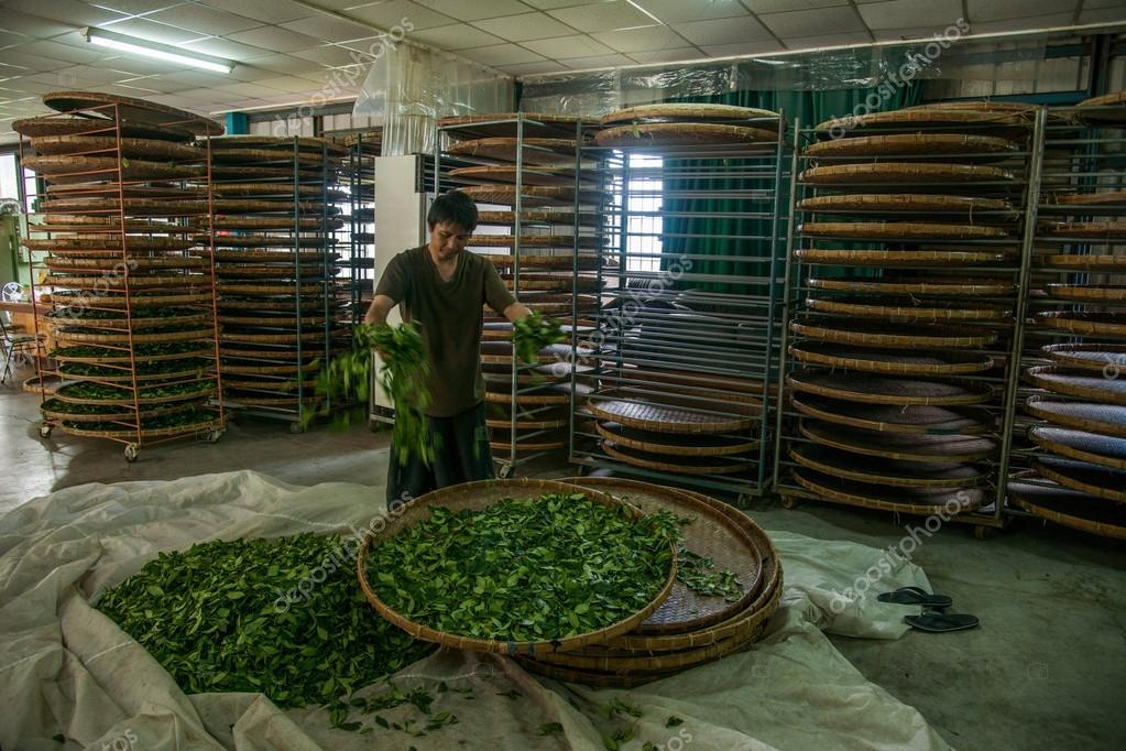 Taiwan's Chiayi City, Long Misato territory of a tea factory workers are hanging Oolong tea (tea first process: dry tea)