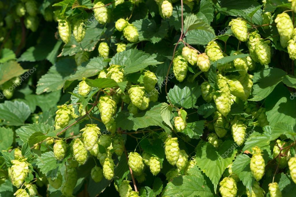 seeds of hops