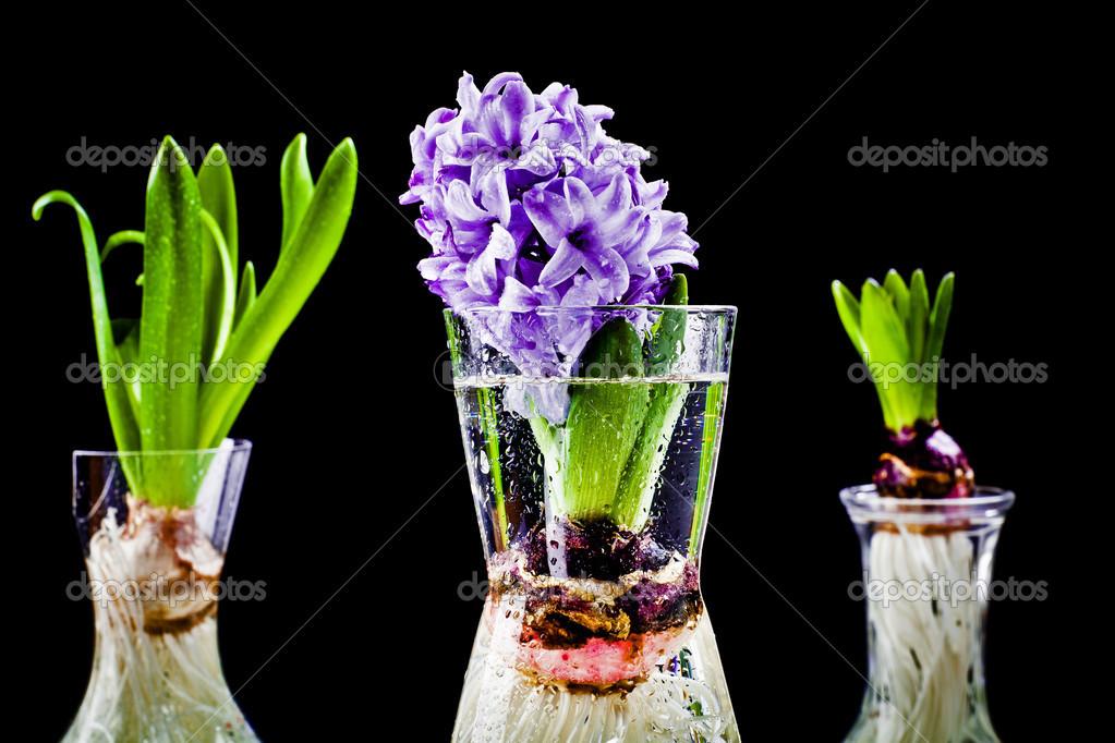 Bulbe De Fleur Jacinthe En Pot De Plus En Plus Photographie Roger