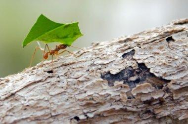 Leaf Cutter Ant on log