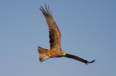 Bird of Pray against blue sky