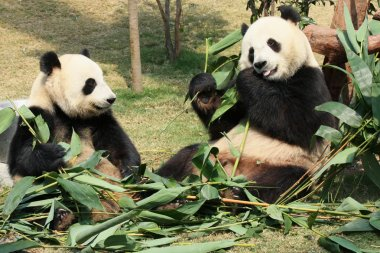 Two giant panda eating