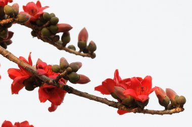 Kapok flowers