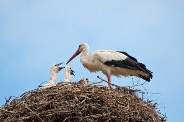 White stork in a nest