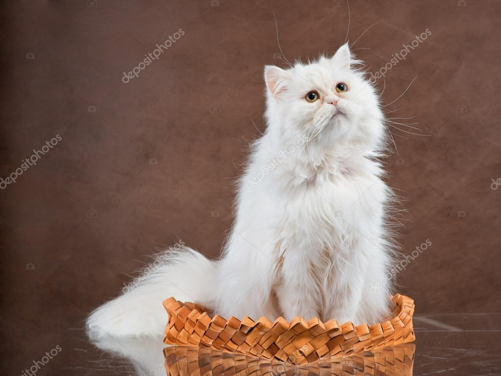 Adult house Persian cat of a white color — Stock