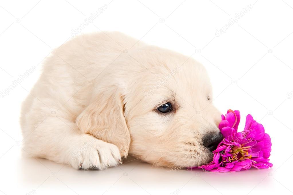 Golden Retriever Dog Images Free Download