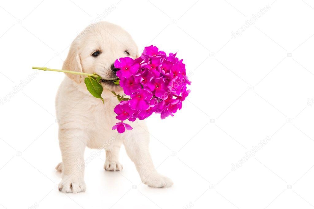 Golden retriever puppy with flower