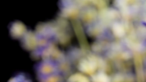 Close up shoot of Lavender buds on black background, sliding from sides. Many people appreciate lavender for its fragrance, used in soaps, shampoos, and sachets for scenting clothes.