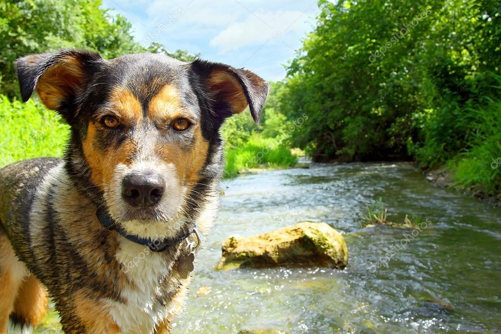 Dog in Stream