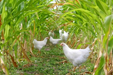 Chickens and Roosters Under Corn