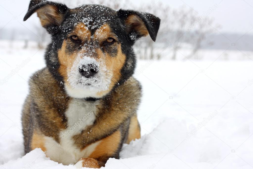 German Shepherd Dog Outside Covered in Snow