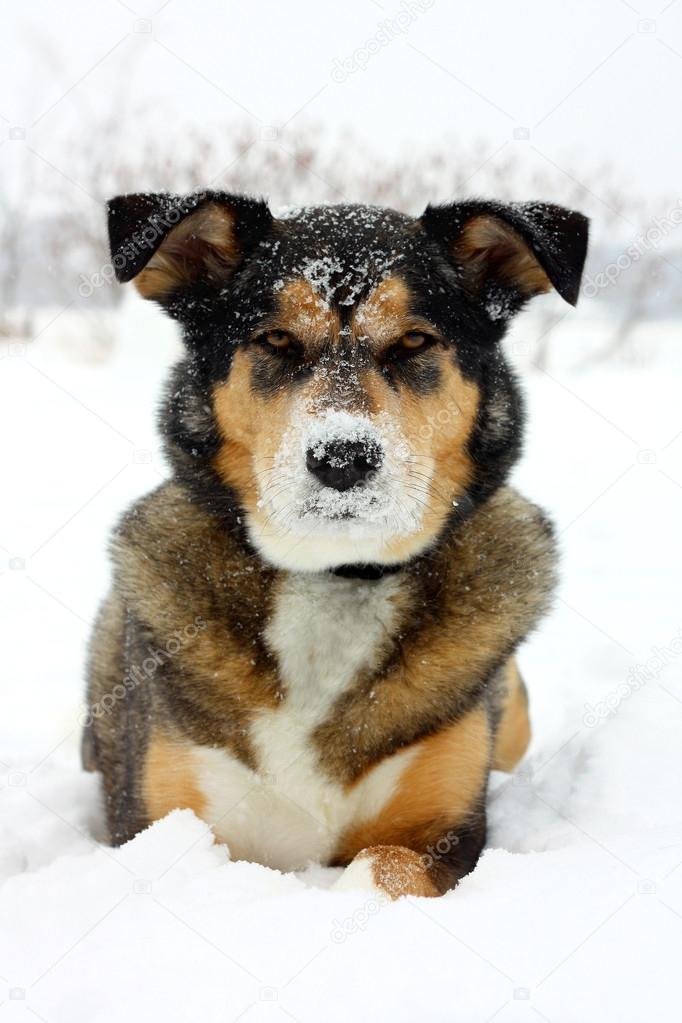 German Shepherd Dog Laying in White Snow