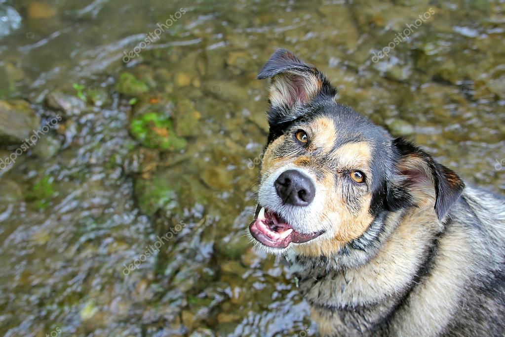 Happy German Shepherd Mix Dog Swimming in Stream