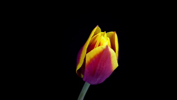 Yellow and purple tulip flower blooming timelapse
