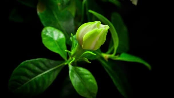 Gardenia flower blooming timelapse