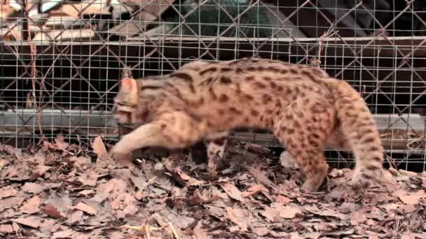 Leopard cat.