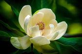 jarní magnolie strom květ